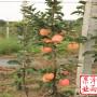 上海市米奇啦苹果树苗今年批发价格