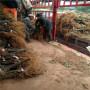 辽宁省3公分-4公分-5公分-6公分波姬红无花果苗苗圃出售价格低