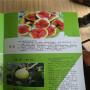廣西3公分-4公分-5公分-6公分美味華麗無花果苗出售