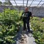 河北承德蓝丝带蓝莓苗病虫害防治,珠宝蓝莓苗