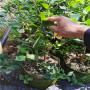 河南安陽L藍莓苗品種說明,瑞卡藍莓苗