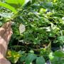 新千年藍莓苗黑龍江七臺河今年價格,基地銷售