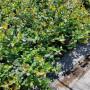 云雀蓝莓苗2021市场报价表,都说好云雀蓝莓苗需冷量