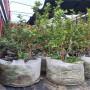珠寶藍莓苗種植技術,北藍藍莓苗病害防治