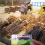 矮化紅思尼可蘋果苗專業基地,河北省矮化紅思尼可蘋果苗今年報價