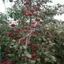 紅思尼可蘋果樹苗包郵基地,重慶市紅思尼可蘋果樹苗便宜價格