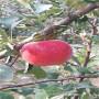 矮化紅思尼可蘋果苗農民自營,江蘇省矮化紅思尼可蘋果苗2021年春季報價