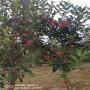 客戶認同 t337砧木嫁接新紅星蘋果苗21年報價,基地賣的便宜