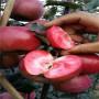 紅思尼克蘋果樹苗育苗廠家,內蒙古紅思尼克蘋果樹苗今年報價