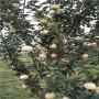 周到服务 t337砧木嫁接瑞普丽苹果苗2121年春季价格