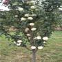 矮化红思尼克苹果苗育苗厂家,北京市矮化红思尼克苹果苗哪里批发便宜