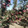 這是真的嗎?矮化砧木M7優系雞心果蘋果苗育苗苗圃