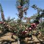 本周排行 t337砧木嫁接秦脆蘋果苗目前適合種植什么品種