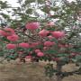 你看,矮化砧木Y1瑞雪苹果苗2121年春季价格