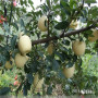 本周熱搜馬克砧木嫁接華碩蘋果苗2121年價格