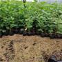 矮化Y1砧木苗、山东矮化Y1砧木苗、矮化Y1砧木苗2021年报价