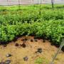 新疆阿克蘇組培吉塞拉12號砧木苗圃便宜,品種純的組培吉塞拉12號砧木