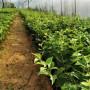 遼寧營口蘭丁砧木供應,便宜的蘭丁砧木