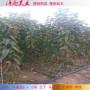組培吉塞拉6號砧木、陜西組培吉塞拉6號砧木、組培吉塞拉6號砧木近期報價