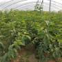 Y1砧木苗、吉林Y1砧木苗、Y1砧木苗2021哪里便宜