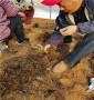 陜西渭南Y1砧木苗苗圃賣,根系好的Y1砧木苗
