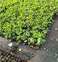 山西忻州考特砧木苗圃有,無病害的考特砧木