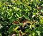 安徽1年奧紅一號梨樹苗 2公分晚秋黃梨樹苗緩苗技術