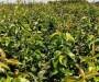 江蘇1年秋月梨樹苗、2公分秋月梨樹苗貨源地