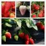 太空2008草莓苗多少錢一棵-長春