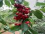 廣西玉林3公分大棚櫻桃樹有發展前景嗎