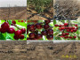 四川达州晚熟桃树苗一亩土地种植多少棵