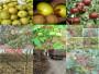 哪里有晚熟桃樹苗、廣西欽州晚熟桃樹苗畝產多少斤