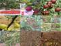 四川達州6月成熟梨樹苗才賣什么價格
