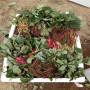 蜜宝草莓苗批发基地