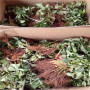今年美德莱特草莓苗、美德莱特草莓苗价格