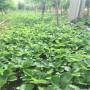 今年咖啡草莓苗出售基地