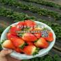 新品种隋珠草莓苗、隋珠草莓苗价格公示