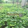 越秀草莓苗品種介紹、越秀草莓苗穴盤苗價格多少