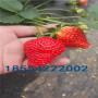 四季草莓苗价格及基地、四季草莓苗价格与报价