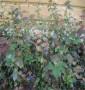 新聞:儋州市利珀蒂藍莓苗新聞資訊【銷售@基地】