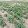 越麗草莓苗湖南銷售、日本白草莓苗