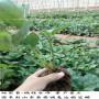 杠三草莓苗陜西高產管理技術、香草草莓苗