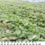 202草莓種苗保證技術,鄂州市202草莓種苗