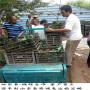 初戀味道草莓苗海南出售價格、 草莓苗