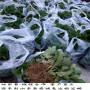 妙香3号草莓种苗大型基地、内蒙古妙香3号草莓种苗最适合种植