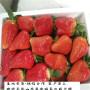 保證品種的天仙醉草莓苗,美十三草莓苗銷售