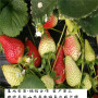 保證品種的華艷草莓苗,櫪乙女草莓苗廠家