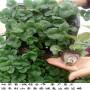 天仙醉草莓苗、京御香草莓苗多少钱一株,新报价