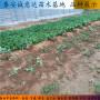 妙香3號草莓種苗最近基地、河北省妙香3號草莓種苗管理粗放品種