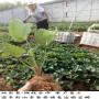 紅玉草莓苗、佼姬草莓苗管理高產技術